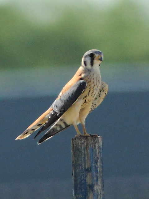 American Kestrel male 2-20120707