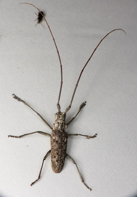 Watch Out for the Exotic Asian Longhorned Beetle