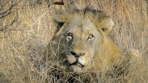 LionMale2_04.Still001