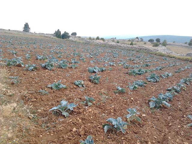 Plantacion de Coles (Brassica oleracea)