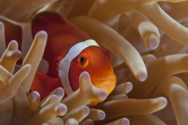 Amphiprion ocellaris - dynamic lighting