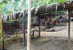 卡迪娜吸蜜鸚鵡人工繁殖場的情況© TRAFFIC Southeast Asia。