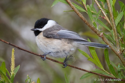 Carolina chickadee by andiwolfe (I'm back!)