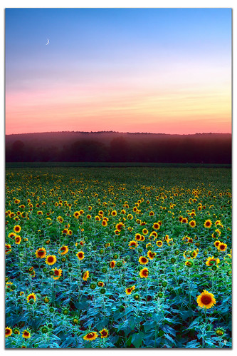 sunset moon connecticut sunflower buttonwoodfarm