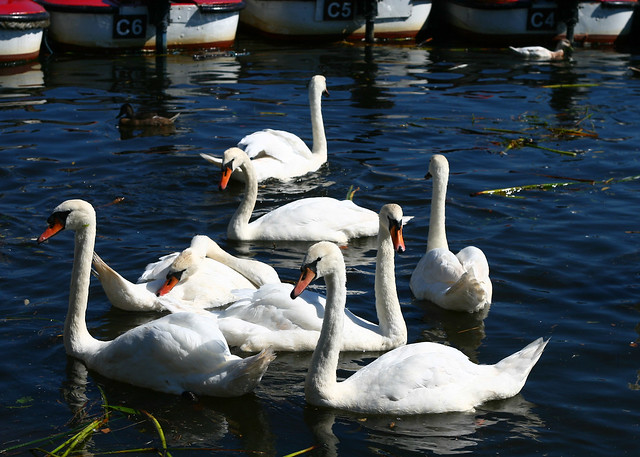 chch-swans