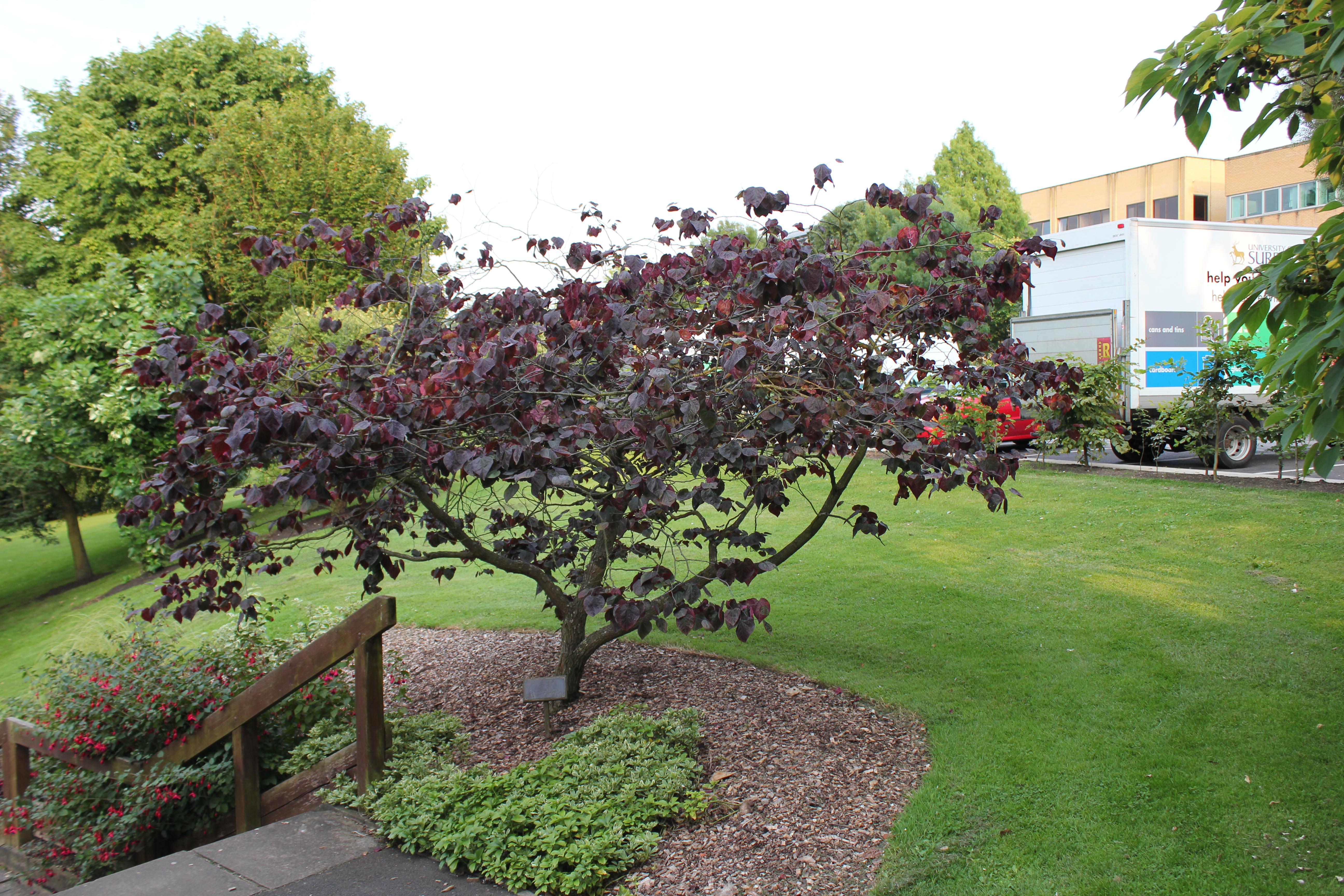 cercis canadensis 39 forest pansy 39 forest pansy redbud. Black Bedroom Furniture Sets. Home Design Ideas