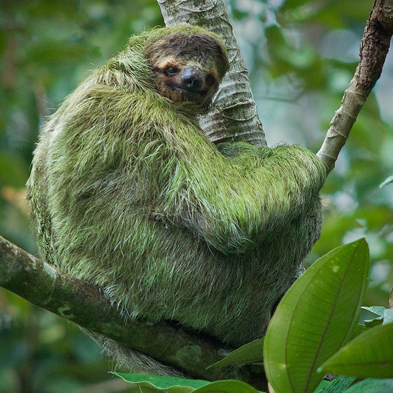 cuipo-algae_sloth_cuipo