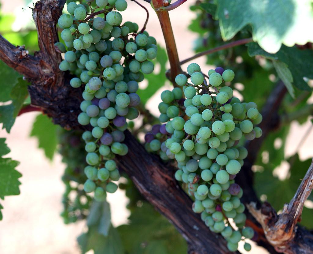 Jordan Cabernet Sauvignon grapes during veraison