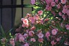 206/366 Oleander