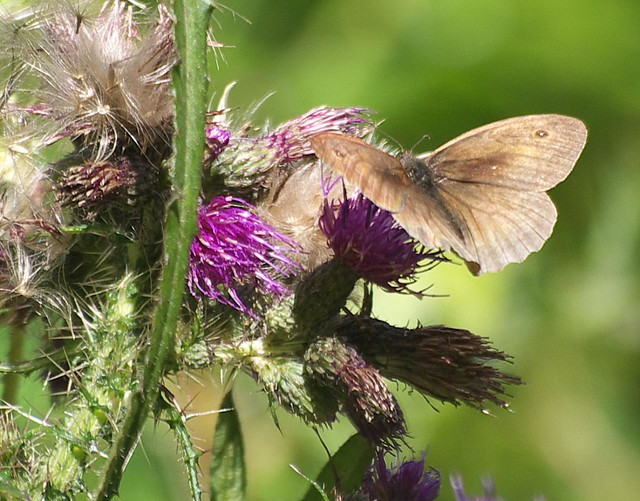 DSC_4236 Meadow Brown