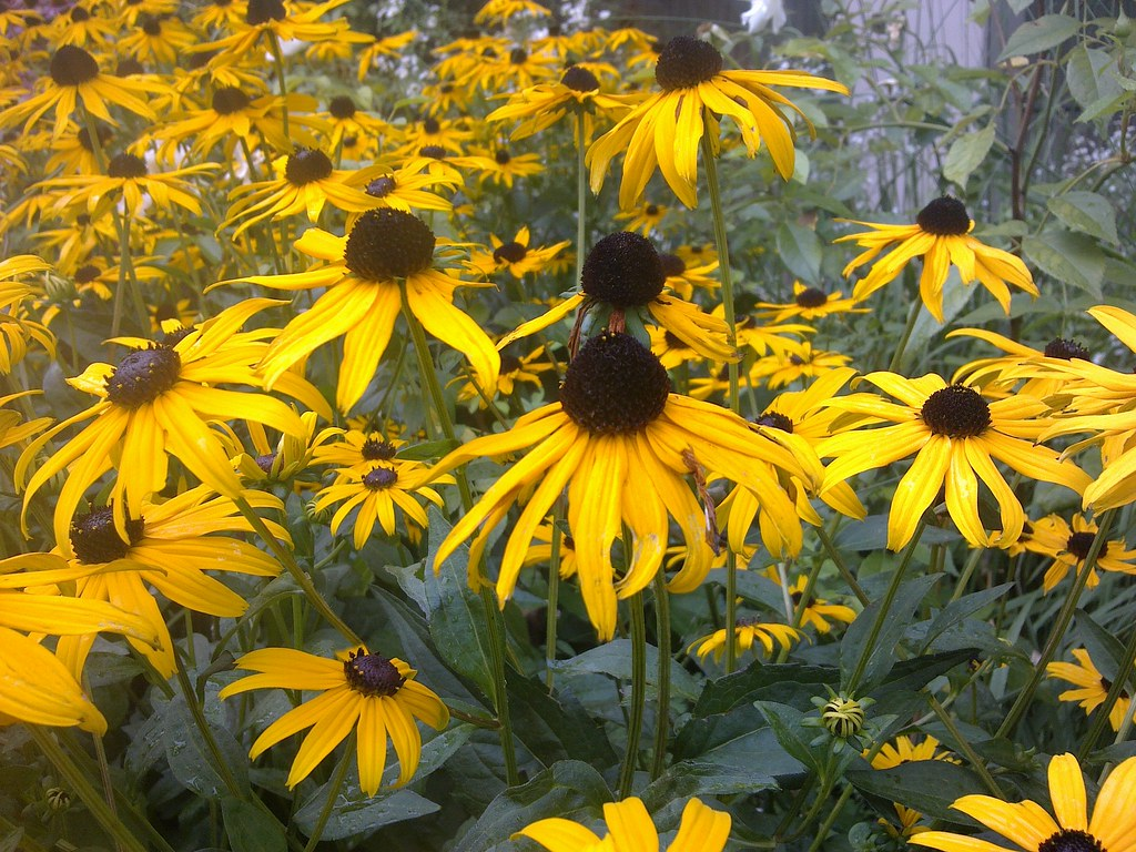 0984f0abfc8b9 ... Pflanzen  Sonnenhut - Gelber   Niedriger Sonnenhut 0508201204