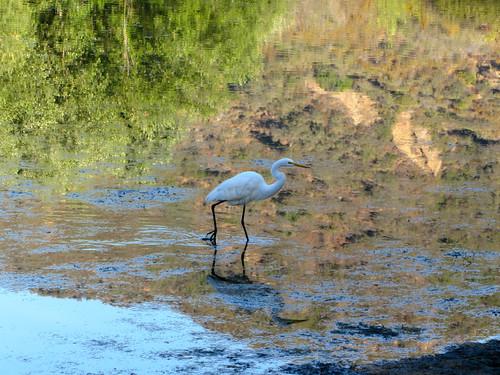 egret at the lake