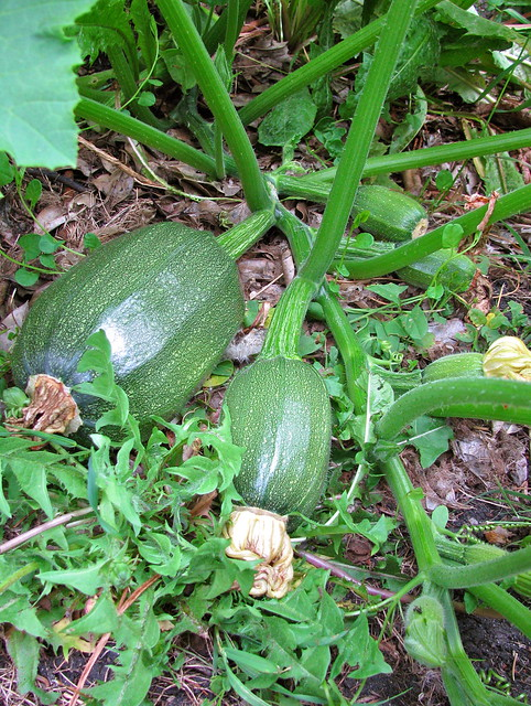 Strange squash growing in the garden near the compost pile