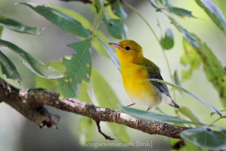 072512_04_bird_prothonotaryWarbler1