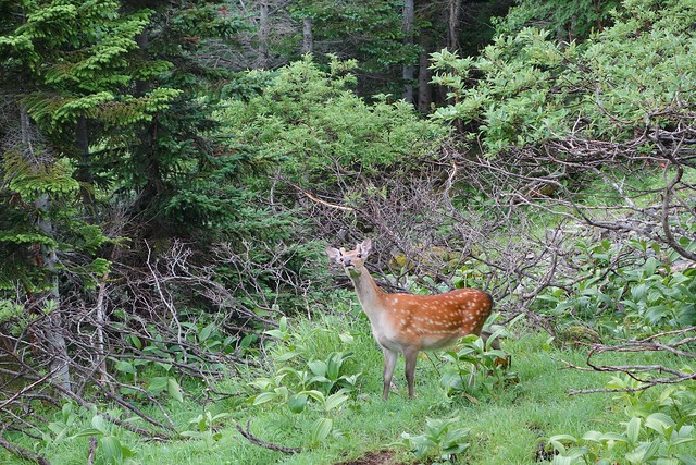 Mountain wildlife - deer