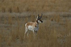 Pronghorn Antelope prairie SE Alberta