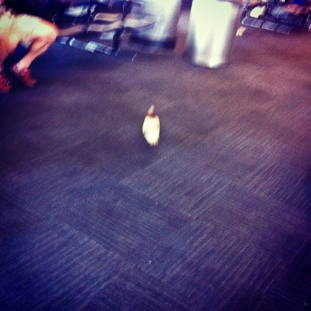 Pigeon in the AIrport