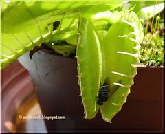 Venus Flytrap 4