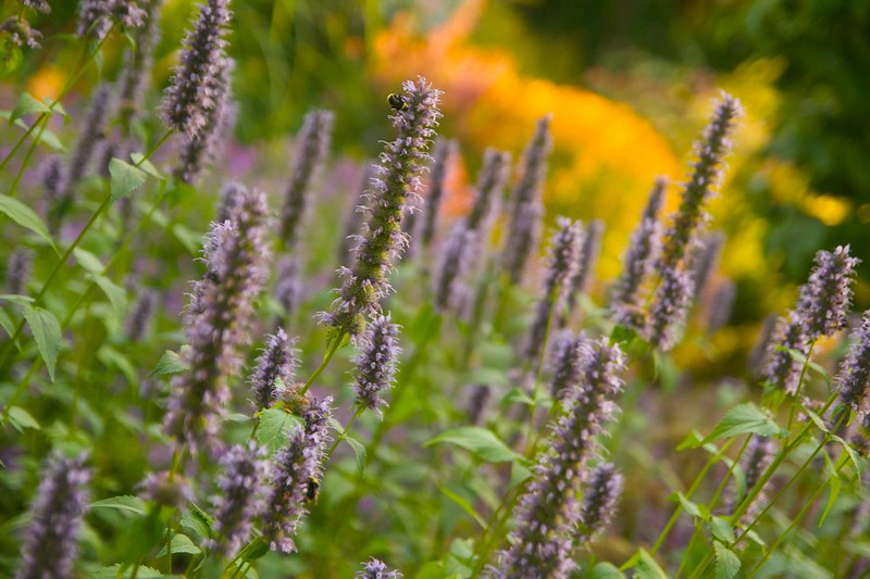 agastache black adder  2048