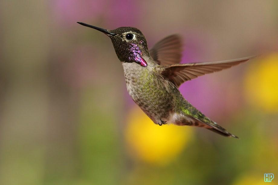 Costa's X Anna's Hummingbird 030112100