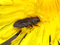 Anthaxia helvetica (Buprestidae)