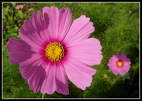 Cosmea.....Cosmos bipinnatus......Happy summer days for my dear friends !!!