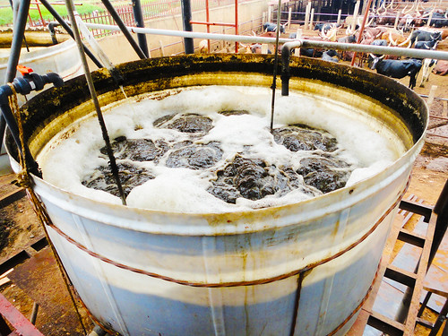 A holding tank for recycling wastewater at the city abattoir in Kampala.