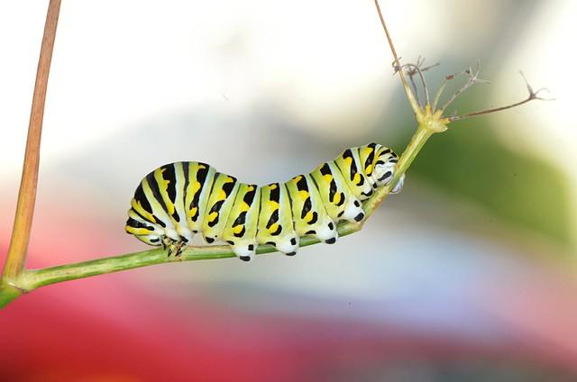 Eastern Black Swallowtail Caterpillar on Thistle