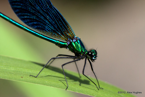 Beautiful Demoiselle Damselfly (male) by Rednaxela13