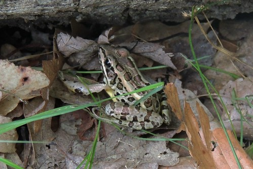 Leopard Frog! Yay! It's about time!