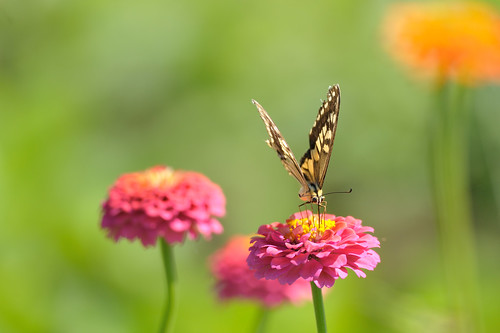 ジニアとキアゲハ  Pink Zinnia with a swallowtail