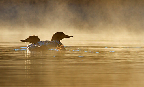 Morning - Common Loon - Wilson Lake, Quebec