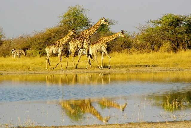 giraffes in moremi game park