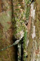 Crickets and tree crickets of Whitsunday Shire
