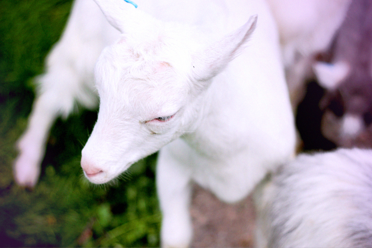 lil goat