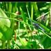 Stalking Dragonflies 2