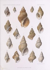 seashell, conch,