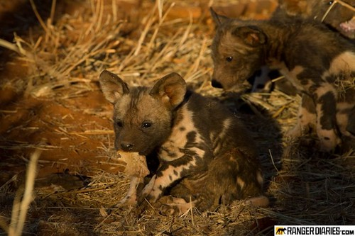 wild dogs, wild pups, wild dog puppies, wild dogs south africa, wild dogs, jaci's lodges, madikwe, madikwe reserve