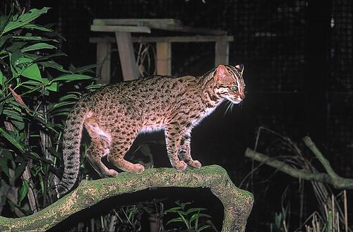 特生中心收容的石虎,無法野放,最近與台北市立動物園合作進行圈養個體研究,並拍攝成影片。(攝影:何東輯)