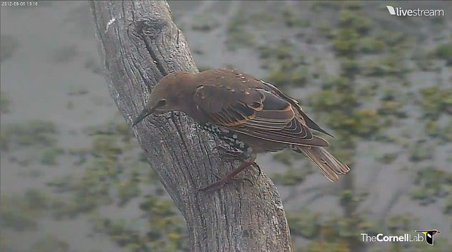 GBH 8-9-12 STARLING on branch of tree