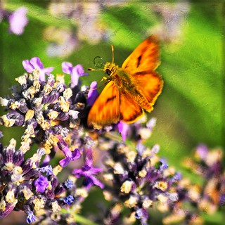 skipper skipping thru the lavender . . .