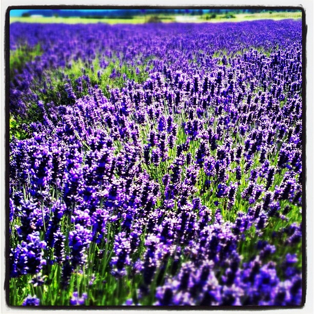 Lavender Fields, Sequim Washington
