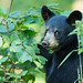Shy but Alert Black Bear Cub