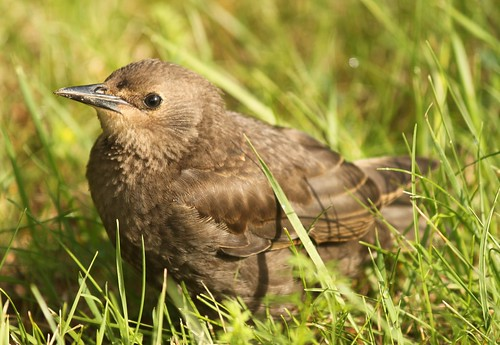 I think this is a little cowbird but I know ducks better so I could be wrong. Whatever. I think he's adorable.