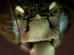 綠條無墊蜂(A. caldwelli)(徐翰慈攝)
