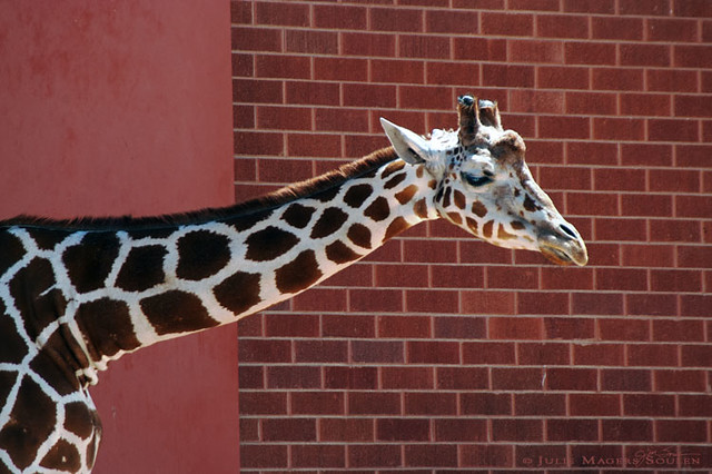 Giraffe, a zoo animal from Africa with a very long neck, crosses in front of a brick wall creating a checker patchwork of patterns in russet orange.