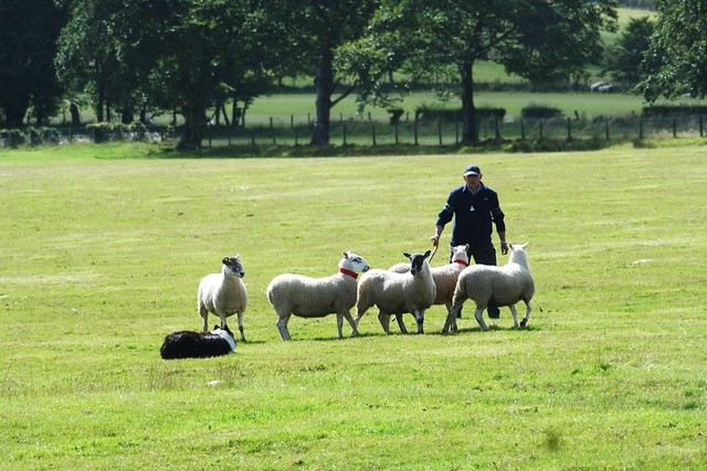 Sheep Dog Trials, Strathaven