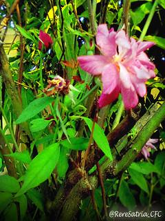 Rose in Indonesia Summer