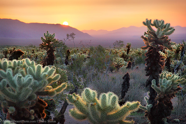 Cholla Garden Sunrise - Joshua Tree