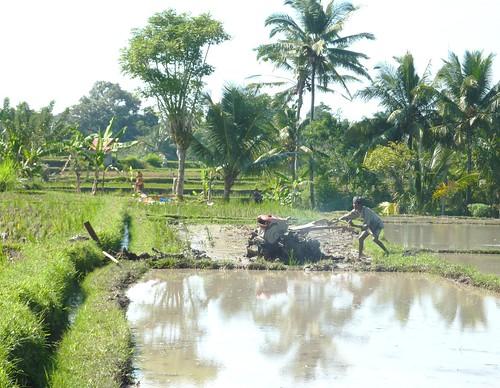 Bali- Ubud-Rizières (4)